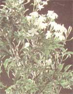 Jasmin officinalis Jasminum officinale